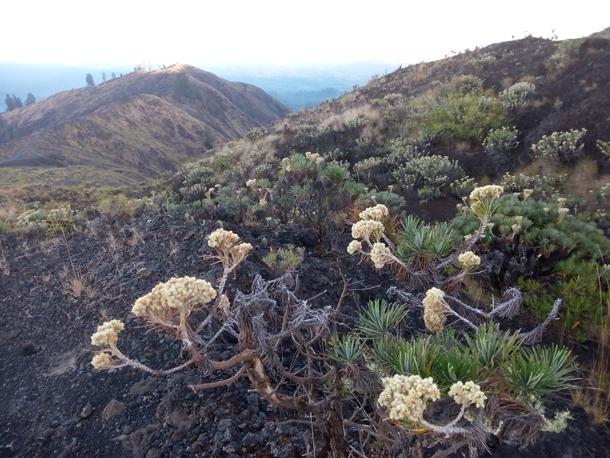Edelweis flower or bunga abadi on Mount Tambora
