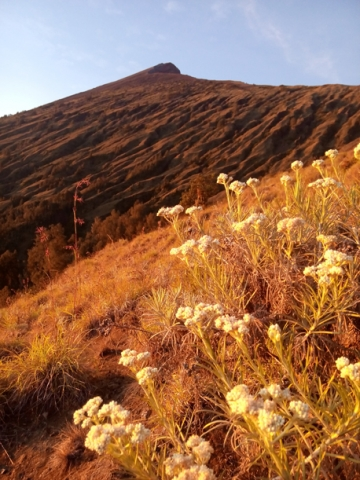 Edelweis flower on the top of Mount Rinjani Lombok
